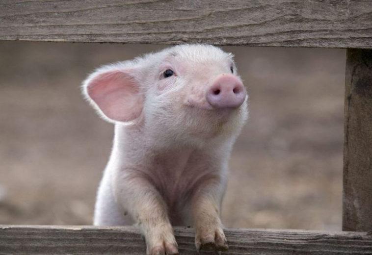 Huawei начнет внедрять ИИ-технологии на свинофермах и в шахтах