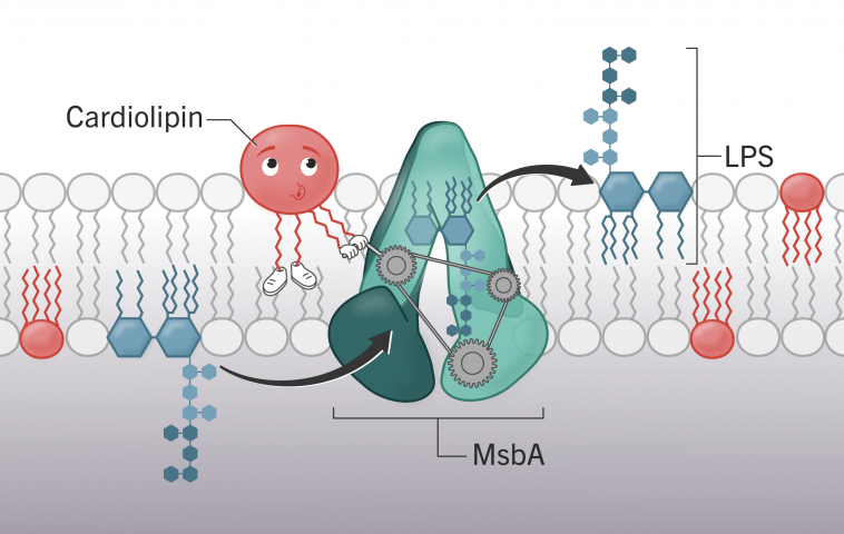 Новая функция кардиолипина может стать ключом в борьбе с резистентностью бактерий