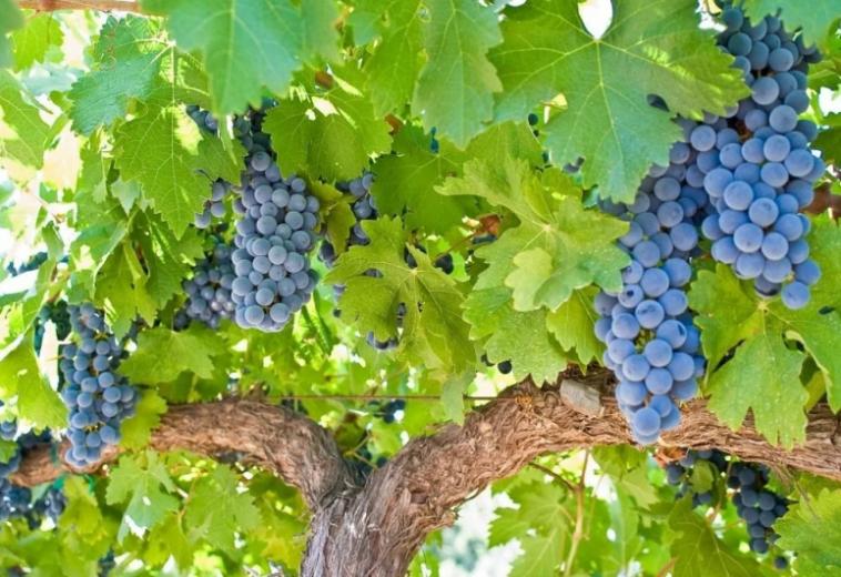 Приложение для смартфона прогнозирует урожайность винограда машинным зрением