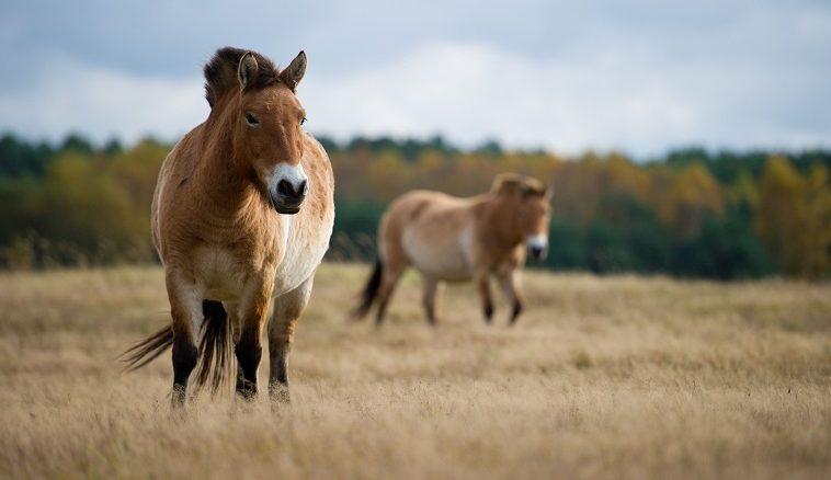 ИИ и дроны помогают спасти лошадей Пржевальского в национальном парке в Венгрии