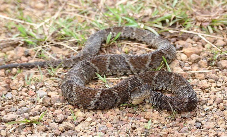 Из змеиного яда сделали суперклей для ран, останавливающий кровотечение за несколько секунд