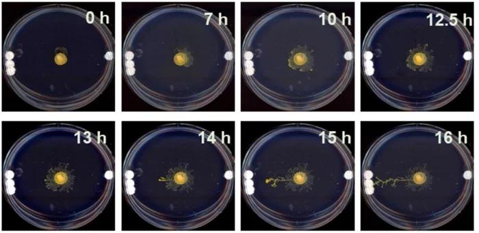 Одноклеточный слизевик без мозга анализирует растяжение поверхности для поиска нужных ему объектов